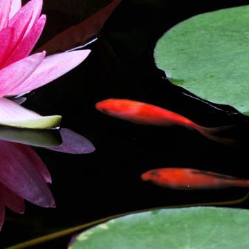 goldfisch-seerose