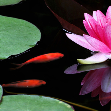 seerose-goldfisch