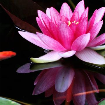 seerose-pink2