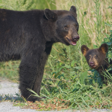 bear-and-cub-2